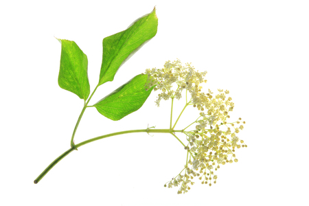 Elderflower isolated against white background  Sambucus nigra