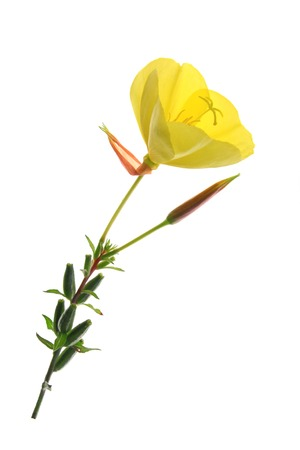 oenothera biennis: blossoming common evening primrose (Oenothera biennis) single blossom isolated against white background