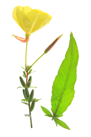 oenothera biennis: blossoming common evening primrose (Oenothera biennis) single blossom and one leaf isolated against white background Stock Photo