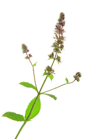 spearmint: Spearmint (Mentha spicata) isolated in front of white background