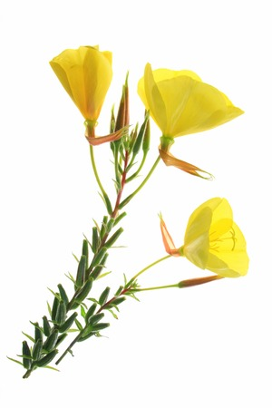 blossoming common evening primrose (Oenothera biennis) three blossoms isolated against white background