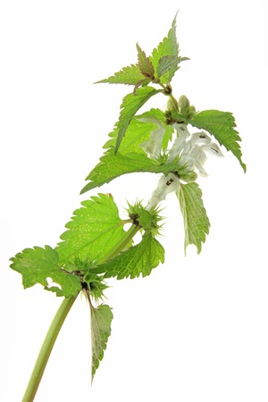White Dead Nettle  (Lamium album)  isolated in front of white background photo