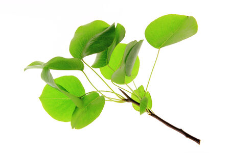 Small branch with leaves of European wild pear  (Pyrus pyraster)  isolated against white background photo
