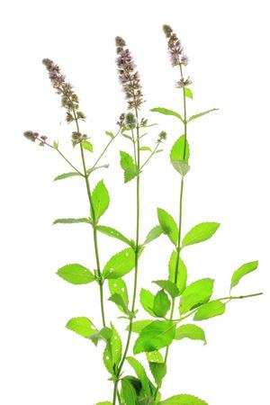mentha: Hierbabuena (Mentha spicata) aisladas en frente de fondo blanco