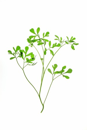 rue: Rue (Ruta graveolens) - plant isolated in front of white background