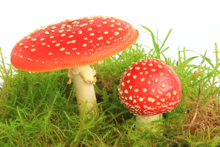 Fly agaric mushrooms (Amanita muscaria) in the moss, isolated in front of white background photo