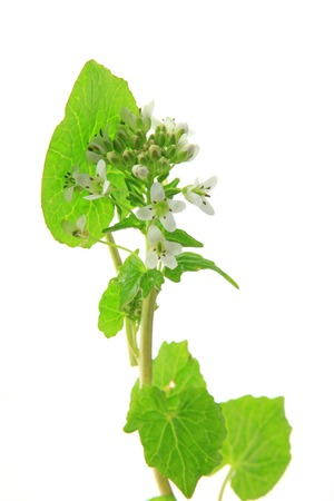 cruciferous: Wasabi (Eutrema japonicum) flowering plant isolated in front of white background