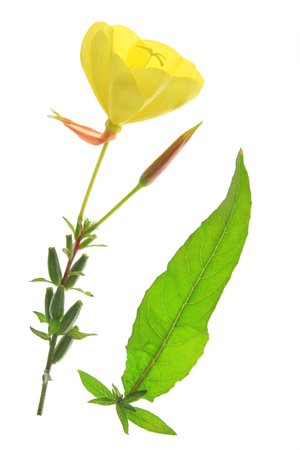 oenothera biennis: blossoming common evening primrose (Oenothera biennis) - single blossom and a leaf isolated against white background Stock Photo