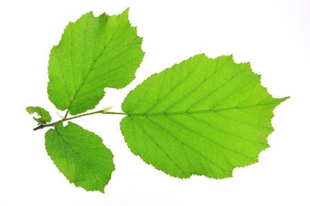 albero nocciola: Piccolo ramoscello di nocciolo con foglie verdi fresche (Corylus avellana) isolato su sfondo bianco