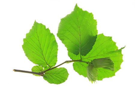 albero nocciola: Piccolo ramoscello di nocciolo con noci acerbe e foglie verdi fresche (Corylus avellana) isolato su sfondo bianco Archivio Fotografico