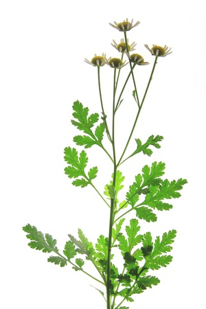 bachelor s button: Feverfew (Tanacetum parthenium) - flowering plant in front of white background