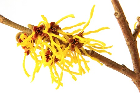 blooming branch of witch hazel (Hamamelis) isolated in front of white background