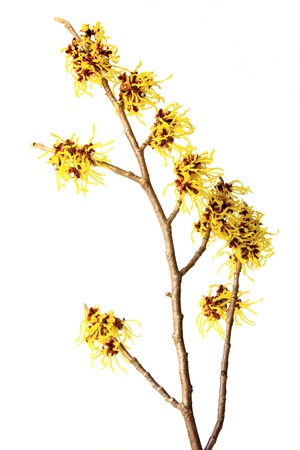 hamamelis: blooming branch of witch hazel (Hamamelis) isolated in front of white background