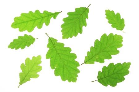 quercus robur: Oak leaves isolated against a white background (Quercus robur) Stock Photo