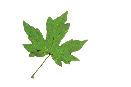 acer: Field maple (Acer campestre) single leaf isolated against white background - Tree of the Year 2014 (Germany)