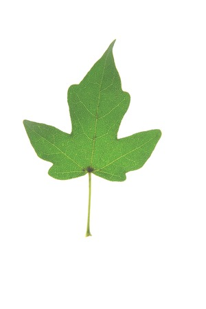 Field maple (Acer campestre) single leaf isolated against white background - Tree of the Year 2014 (Germany) photo