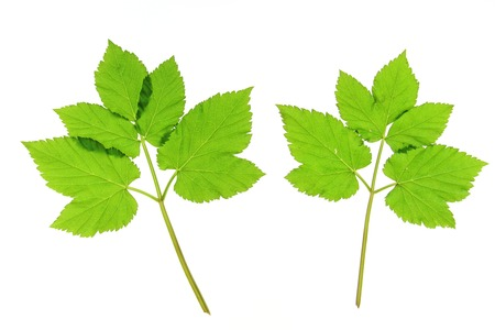 three leaved: Leaves of ground elder (Aegopodium podagraria), isolated in front of white background Stock Photo