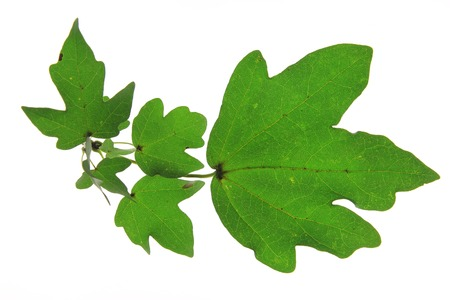 Field maple (Acer campestre) little twig isolated against white background - Tree of the Year 2014 (Germany) photo