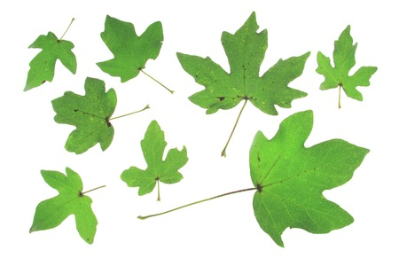 Field maple (Acer campestre) different leaves isolated against white background - Tree of the Year 2014 (Germany) photo