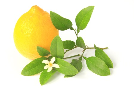 rutaceae: Lemon (Citrus x limon) - ripe fruit against white background with a little twig and blossom