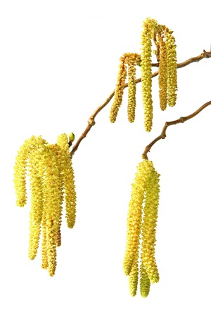 corylus: Branch with male flowers of hazel (Corylus avellana) isolated in front of white background Stock Photo