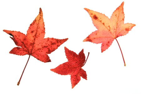 colorful leaves: Sweetgum leaves (Liquidambar) in autumn colors against white background