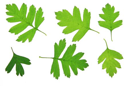 crataegus: Hawthorn leaves (Crataegus), isolated in front of white background