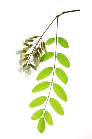 Branch, flower, leaves of the Black Locust, in Europe also called False Acacia (Robinia pseudoacacia) photo