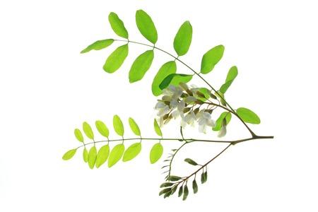 langosta: Rama, flor, las hojas de los Locust Negro, en Europa también llamado Falso acacia (Robinia pseudoacacia) Foto de archivo
