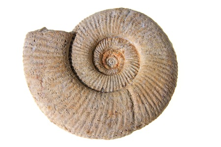 about age: Ammonite, Perisphinctes, White Jura gamma, Location: Swabian Alb, Heuberg, Baden-Wurttemberg, Germany, Age: about 155 million years