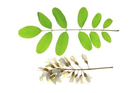 langosta: Flor y una hoja de la langosta del Negro, en Europa también llamado Falso acacia (Robinia pseudoacacia)