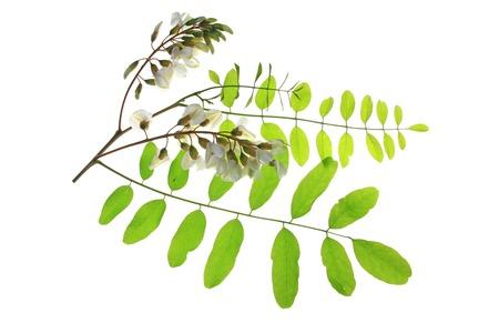 langosta: Rama, flor, las hojas de los Locust Negro, en Europa los llamados falsos pseudoacacia Robinia Acacia Foto de archivo