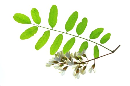 flower leaf: Branch, flower, leaves of the Black Locust, in Europe so called False Acacia Robinia pseudoacacia