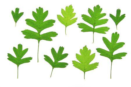 crata�gus: Hawthorn Crataegus hojas, aislado en frente de fondo blanco