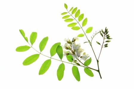 langosta: Rama, flor, las hojas de los Locust Negro, en Europa tambi�n llamado Falso acacia (Robinia pseudoacacia) Foto de archivo