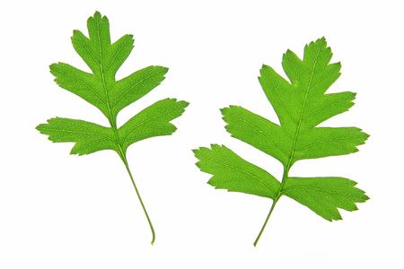 crata�gus: Dos hojas de espino Crataegus, aislado en frente de fondo blanco