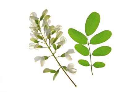langosta: Flor y una hoja de la langosta Negro, en Europa también llamado Falso acacia (Robinia pseudoacacia)