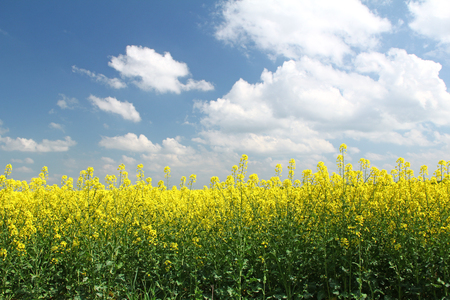 Blooming rapeseed field in front of blue sky, Saxony, Germany