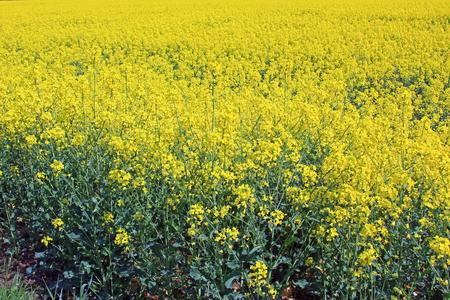 rapeseed: Blooming rapeseed field, Saxony, Germany
