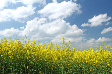 rapeseed: Blooming rapeseed field in front of blue sky, Saxony, Germany