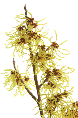 witchhazel: blooming branch of hazel Hamamelis isolated in front witch of white background