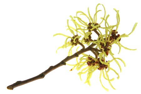blooming branch of hazel Hamamelis isolated in front witch of white background