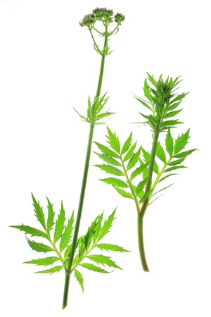 valerian plant: Valerian Valeriana officinalis flowering plant isolated in front of white background