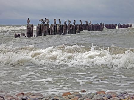 groyne: Cormorants on a groyne in stormy weather, Baltic Sea, Germany Stock Photo