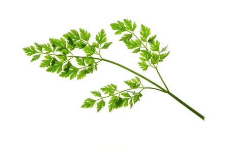 white background: Flat-leaved Parsley Petroselinum crispum - single leaf isolated against white background