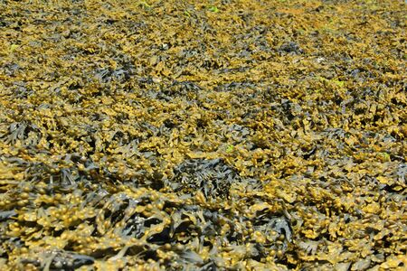 wrack: bladder wrack Fucus vesiculosus at low tide, brown seaweed from the Atlantic, Brittany, France