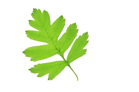 crataegus: A hawthorn Crataegus leaf, isolated in front of white background Stock Photo