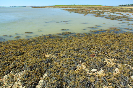 wrack: Bladder wrack Fucus vesiculosus at low tide, brown seaweed from the Atlantic, Brittany, France Stock Photo