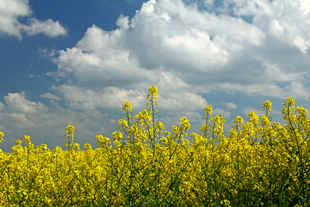rapeseed: Blooming rapeseed field in front of blue sky, Germany Stock Photo