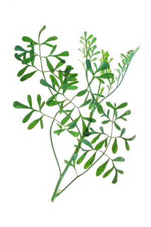 rue: Common rue Ruta graveolens - plant isolated against white background